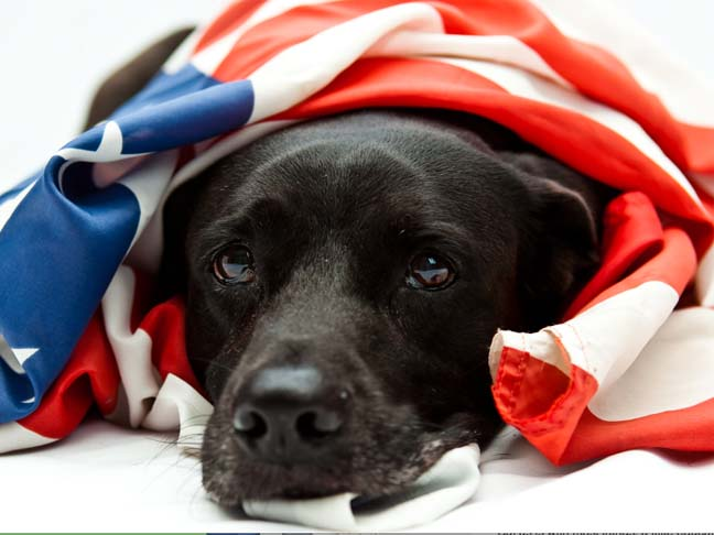 Dog wrapped in American Flag
