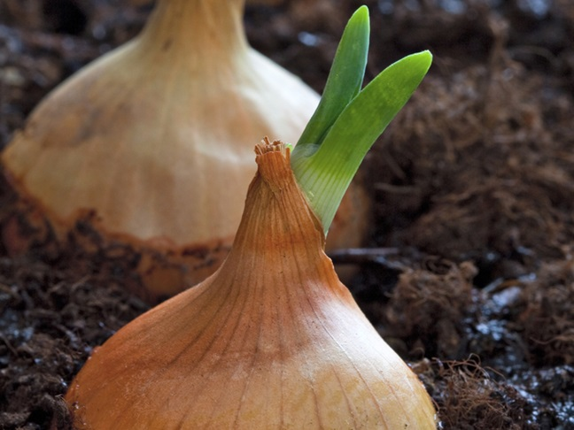 how to grow your own onion seeds