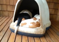 [VIDEO] Guess How Many Basset Hounds are In This Igloo. Then Guess Again.
