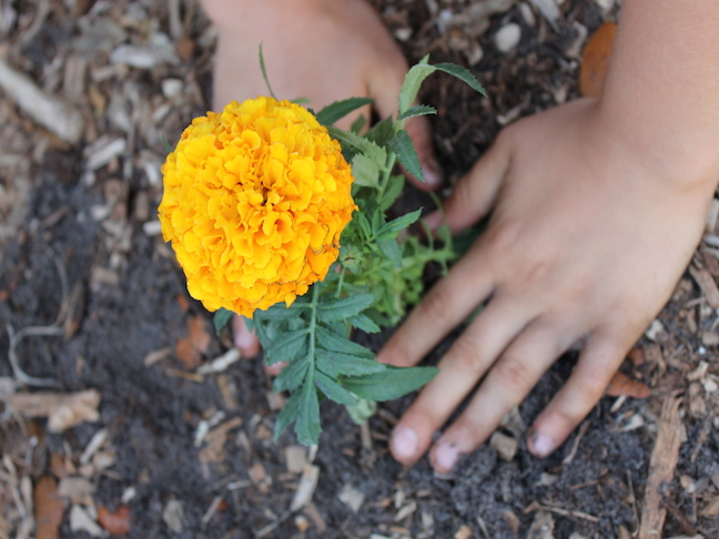 hands planting flower in ground
