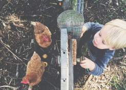 Everything You Need to Know About Keeping Chickens As Pets