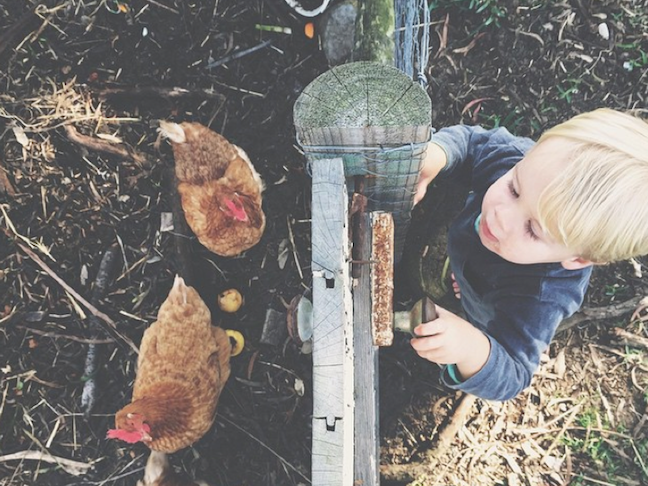 Keeping Chickens as PETS