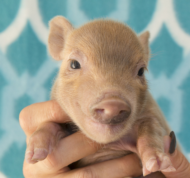 We really had a pet pig, here's what it's like
